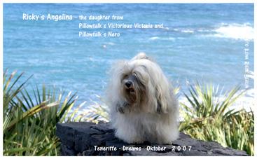 Havaneser Rickys Angelina auf Teneriffa