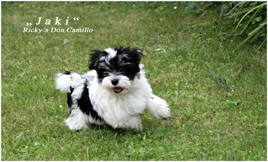 Havaneser Rickys Don Camillo