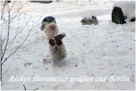 Kleinhunde-der-Rasse-Havaneser-aus-Berlin