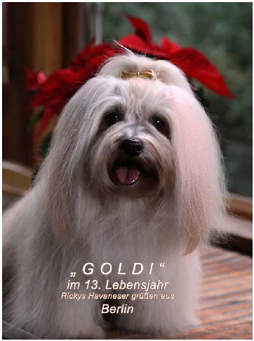 Rickys-Havaneser-Goldi-grüsst-aus-berlin-alle-Hundefreunde-und-Havaneserfans-1