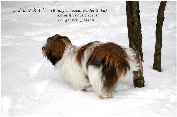 Rickys-Havaneser-Jacki-ist-der-Sohn-von-Rickys-bunny-und-mittlerweile-selbst-ein-ganzer-Mann